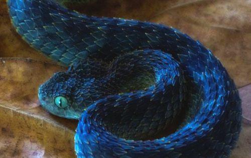 Green Bush Viper (Atheris squamigera)   Snakes ...