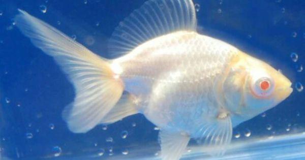 Albino Fantail Fish Pet Comet Goldfish Fish