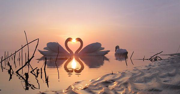beautiful, just gorgeous swan heart bird nature