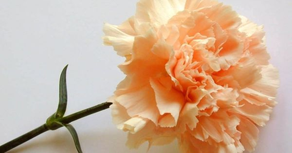 A Pretty Peach Colored Carnation Desktop Nexus Wallpapers Carnations Carnation Flower Flowers