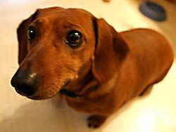 Doxins Google Search Dachshund Puppies Animals