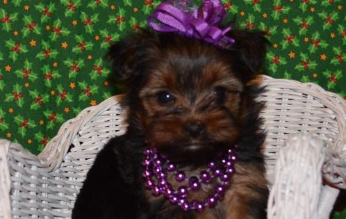 Puppies For Sale Teacup Tiny Yorkies Imperial Shih Tzu Tennessee Puppies For Sale Imperial Shih Tzu Cute Teacup Puppies