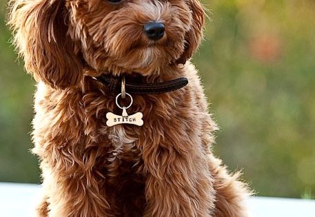 It's so fluffy...(Apparently it is called a CavaPoo- Cavalier King Charles Spaniel