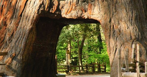Chandelier Drive-Thru Tree and explore amazing redwoods ...