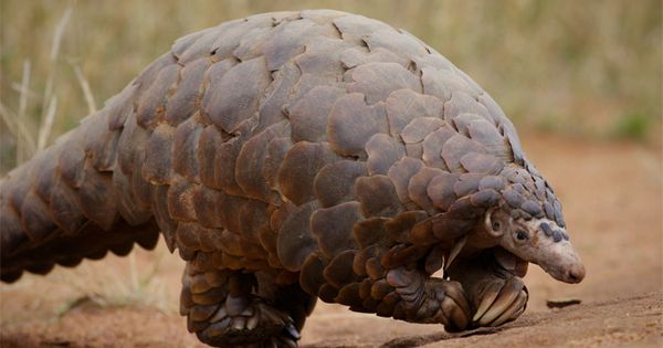 Pangolins are cute-but-strange animals that look like a ...