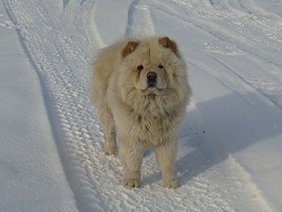 Chow Chow Wikipedia Dog Breeds Baby Dogs