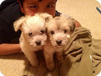 Poodle Chihuahua Mix Puppies Chihuahua Mix Puppies Kitten
