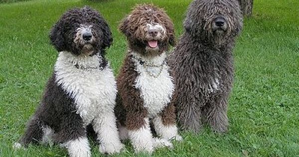 Spanish Water Dog Information And Pictures Spanish Water Dogs
