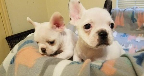 French Bulldog Puppy For Sale In Houston Tx Adn 57851 On Puppyfinder Com Gender Male Age 1 Cuteness Overload Animals French Bulldog