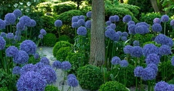 Agapanthus And Boxwood Landscape Design And Planning Will Make