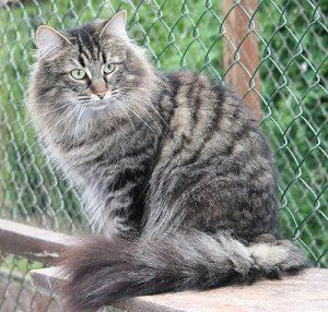 Norwegian Forest Cat Colours Norwegian Forest Cat Society Uk Norwegian Forest Cat Forest Cat Cat Colors