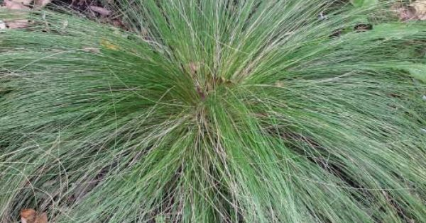 Discover great ornamental grasses for 6 foot tall ornamental grass