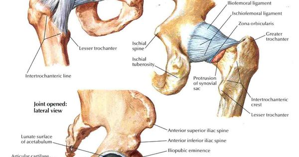 Hip joint anatomy pictures