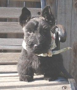 Scottish Terriers For Sale Scottish Terrier Breeder Scottish