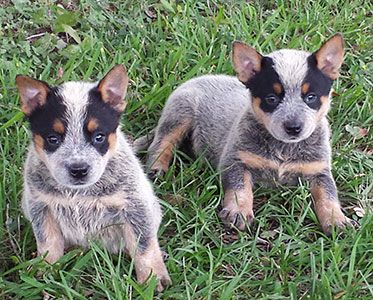 Texas Blue Heelers Akc Registered Blue Heeler Puppies Waller County Texas Blue Heeler Puppies Blue Heeler Dogs Heeler Puppies