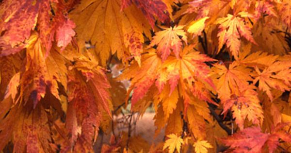 Japanese Maple Trees Eastwood Nurseries 540 675 1234 634 Long
