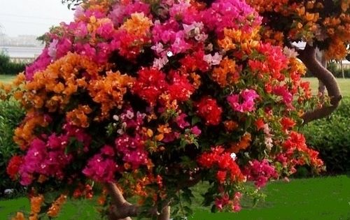 Bougainvillea Tree Zone 9 Amp Up Outside Year Round