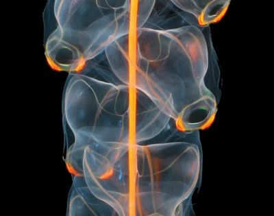 Related to the jellyfish and corals, the beautiful and alien Siphonophore is