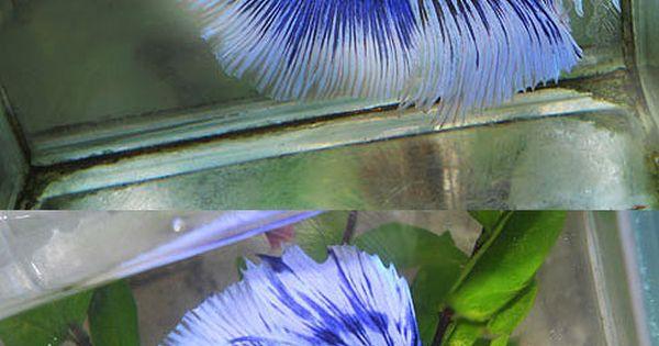 Orchid black blue butterfly fancy bettas pinterest for Betta fish care sheet