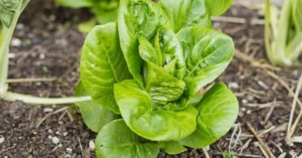 Hints for growing lettuce in the summer heat garden hints and tips pinterest summer heat - Gardening in summer heat a small survival guide ...