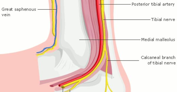 Tibial and Peroneal Nerves | Anatomy of the Ankle | Pinterest