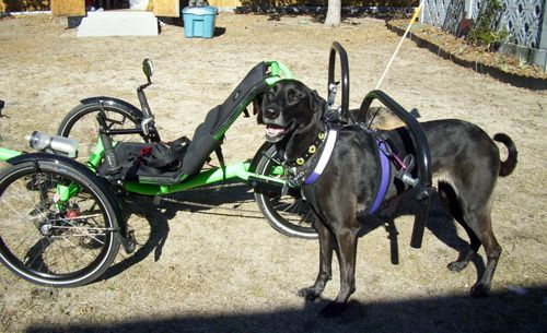 Happy Dog Pulling A Recumbent Trike Urban Dog Sporting Dogs Dogs