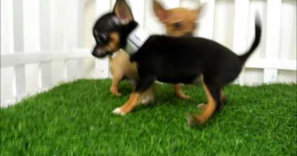 San Diego Puppy Teacup Chihuahua Puppies For Sale San Diego Teacup Chihuahua Teacup Chihuahua Puppies Chihuahua Puppies For Sale