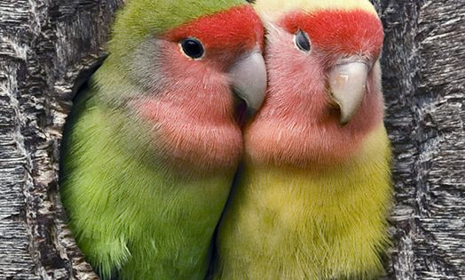 I used to have a peach faced love bird:) awwww:)