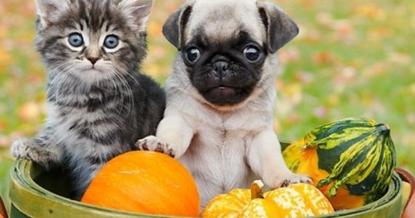 Pug Kitten This Is Double The Cute Just In Time For November