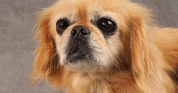 Adopt Angelica A Lovely 9 Years 4 Months Dog Available For Adoption At Petango Com Angelica Is A Pekingese And Is Ava Puppy Adoption Dog Adoption Pekingese