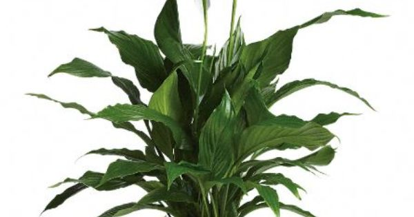 spathiphyllum pour chien chat rongeur cette plante d 39 int rieur aux 30 vari t s est toxique. Black Bedroom Furniture Sets. Home Design Ideas
