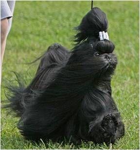 Beautiful Just Beautiful Shih Tzu Puppy Black Shih Tzu Shih Tzu