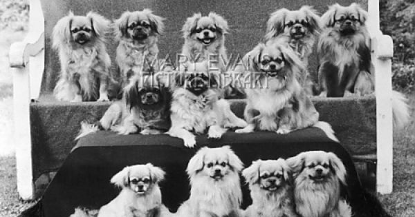 A Group Of Twelve Braeduke Tibetan Spaniels Sit For A Group