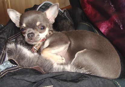 How To Take Care Of A Pregnant Chihuahua Chihuahua Puppies