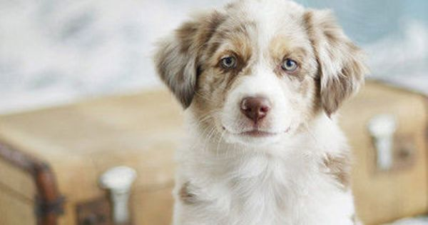 A Quieter Storm Baby Dogs Beautiful Dogs Aussie Puppies