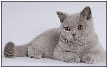 Lilac British Shorthair Cat Britishshorthair British Shorthair Cats British Shorthair Cats