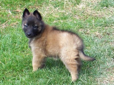 Belgian Tervuren Puppies Belgian Tervuren Dogs And Puppies