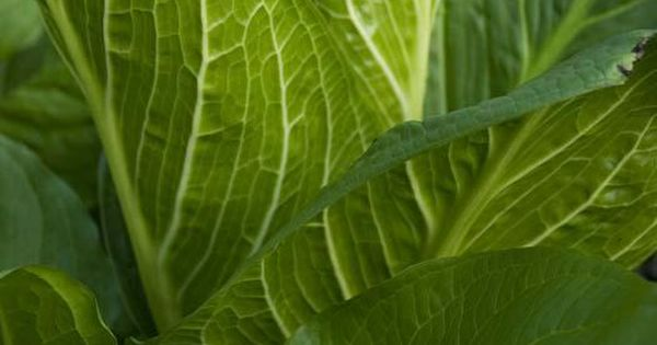 Skunk Cabbage Was Used To Stimulate The Removal Of Phlegm