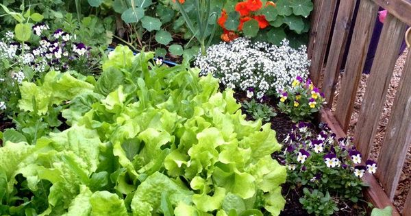 Nasturtiums And Alyssum Keep Bad Bugs Away From Lettuce They Also Make The Vegetable Garden