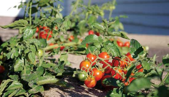 Expert Tips For Growing Early Tomato Varieties Organic Gardening Growing Organic Tomatoes Grow Organic Organic Tomatoes