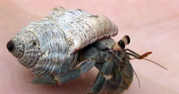 How Do Hermit Crabs Get Pregnant And Have Hermit Crab Babies Hermit Crab Crab Hermit