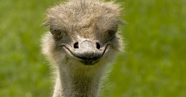 Cool Ostrich Facts Dogs Cats And Wild Animals Blog Animals African Animals Animals Wild