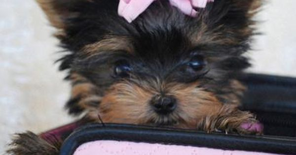Pin By Fred Jimenez Iii On Cute Animals Yorkshire Terrier Puppies Teacup Yorkie Puppy Yorkie Puppy
