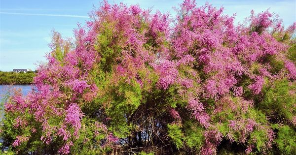 Tamaris attentio arbre qui peut devenir tres haut for Arbre qui pousse rapidement