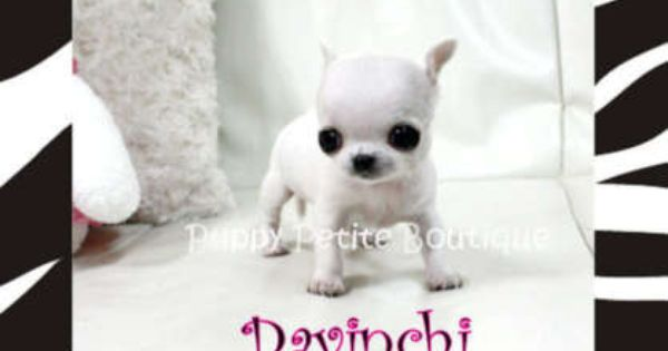 Free Classifieds Hoobly Classifieds Chihuahua Puppies Newborn Puppies Little Puppies