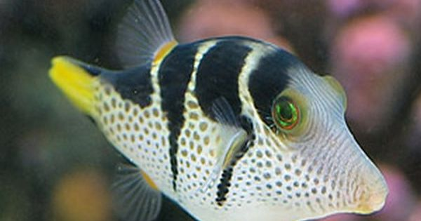 Papuan Toby Puffer And Saddle Puffer Saltwater Tank Puffer Fish Marine Fish