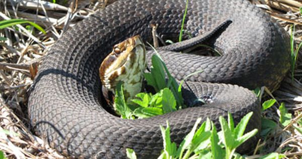 Photo Of Solid Colored Brown Black Adult Cottonmouth Beautiful