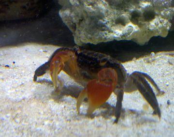 Mini Crabs As Pets Crab Fiddler Crab Fish