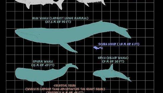 megalodon shark size v...