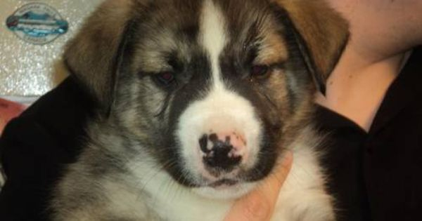 American Bulldog Siberian Husky Mix Puppy My Husbands And My